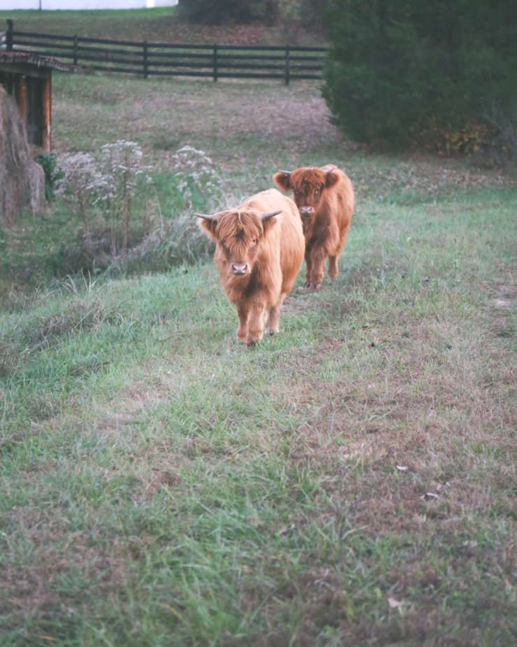 scottish highland cattle breeders in kentucky