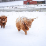 Snow Day On The Farm: Highland Cattle